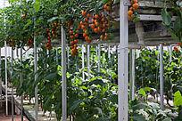 空中种植的西红柿