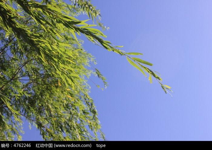 原创摄影图 动物植物 树木枝叶 柳树图片  请您分享: 红动网提供树木