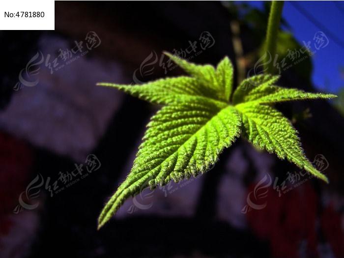 原创摄影图 动物植物 花卉花草 深色背景前的叶子  请您分享: 红动网