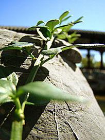 石头上的绿藤