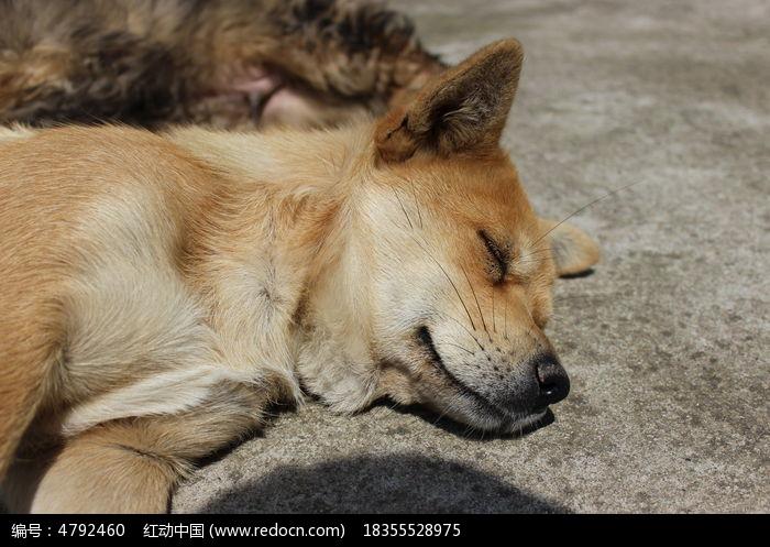 原创摄影图 动物植物 陆地动物 酣睡的黄狗  请您分享: 红动网提供