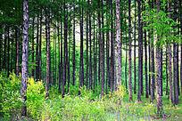 落叶松松林风景