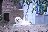 趴在树底的白色小狗