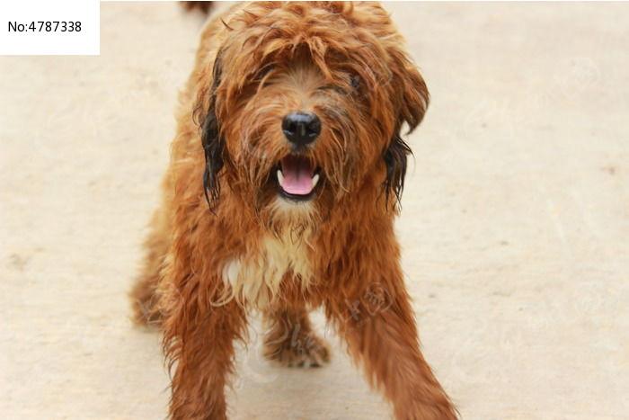 棕色的卷毛狗名字大全图片1