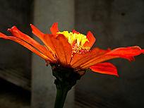 安静的绽放的百日菊