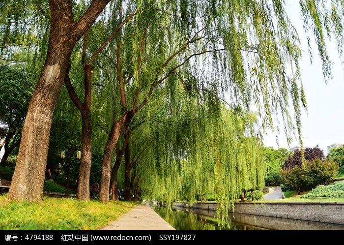 原创摄影图 动物植物 树木枝叶 河边的柳树  请您分享: 红动网提供