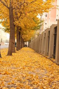 黄色银杏树