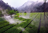 民族地区茶园晨雾