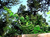 墙头上的绿藤叶