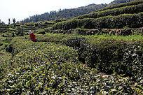 梯田茶叶种植