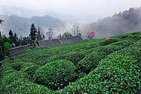 原生态茶乡