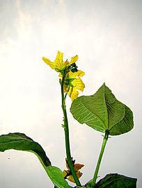 绽放的南瓜花
