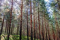红花尔基樟子松原始森林