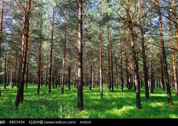 沙地樟子松图片,高清大图_森林树林素材
