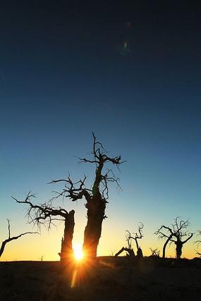 夕阳下枯树的胡杨