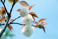 白色樱花盛开