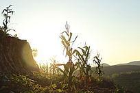 晨光照耀的农作物地