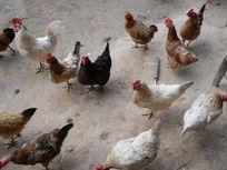 等待吃饭的家鸡