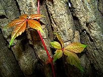 两片爬山虎的叶子