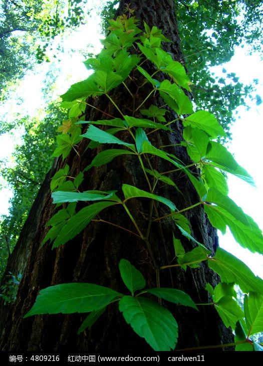 原创摄影图 动物植物 花卉花草 爬满整个树的爬山虎