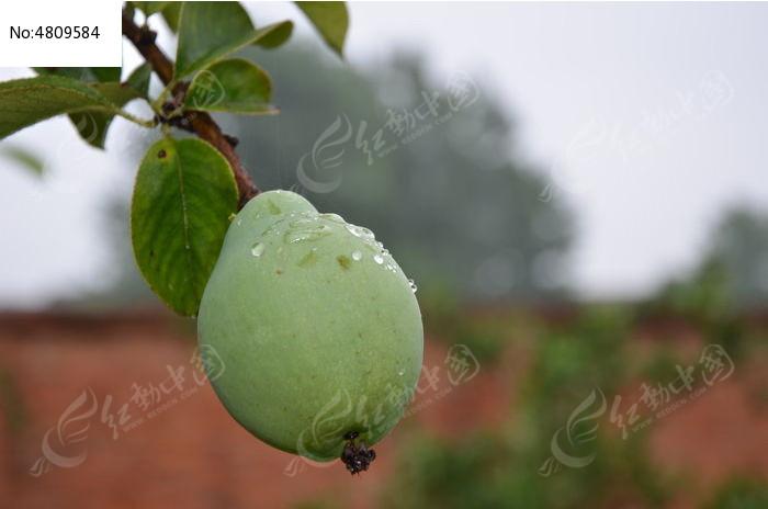 青涩的木瓜图片,高清大图
