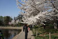 赏樱花的游客