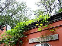 屋檐下搭拉下来的绿藤