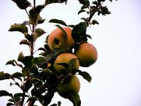 被挂在枝头的苹果