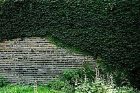 城墙上覆盖的绿色爬墙虎背景素材