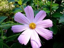 淡紫色的扫帚梅