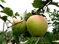 挂在枝头的苹果