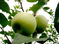 挂在枝头的青苹果
