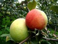 挂在枝头的青苹果和红苹果