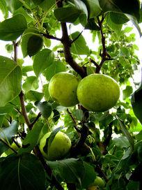 挂在枝头上的水果