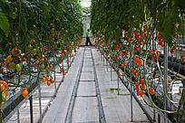 果实累累的西红柿
