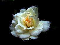 花心是淡黄色的月季花