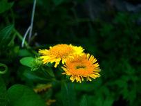 两朵安静的野菊花