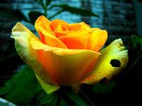 深色背景里的黄色月季花朵