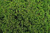 绿色柏树植物背景素材