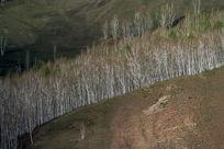 山岭上的白桦林
