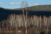 桦树林背景