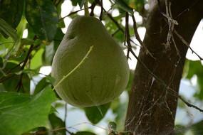 一个青皮大柚子