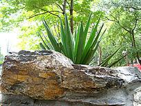 植物边上的大石头纹理