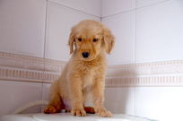 可爱的小金毛狗