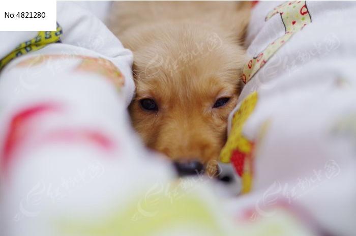懒洋洋的金毛狗图片,高清大图_陆地动物素材