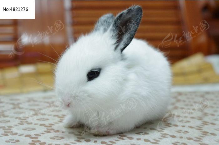 原创摄影图 动物植物 陆地动物 小白兔  请您分享: 红动网提供陆地