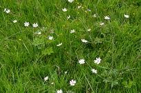 草甸上盛开的白色野花