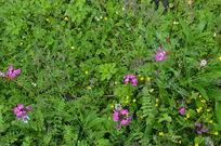 冲古草甸里的野花