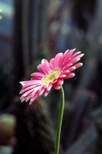 粉嫩的波斯菊