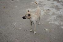 灰白色的小狗